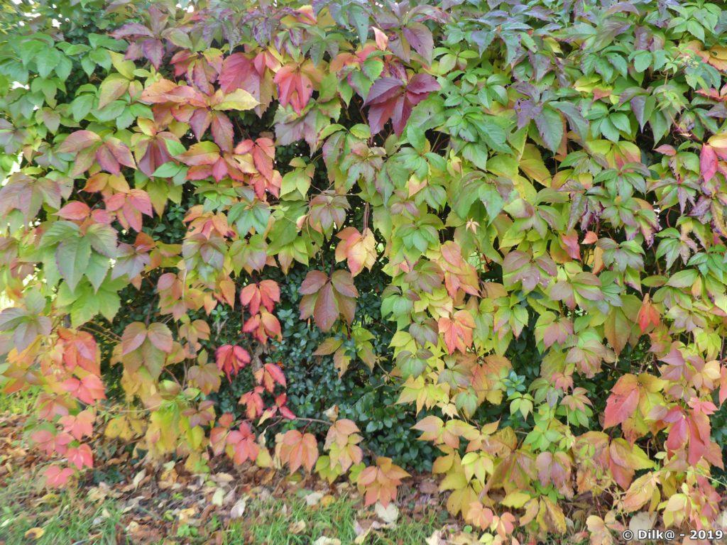 Vigne vierge avec ses couleurs d'automne