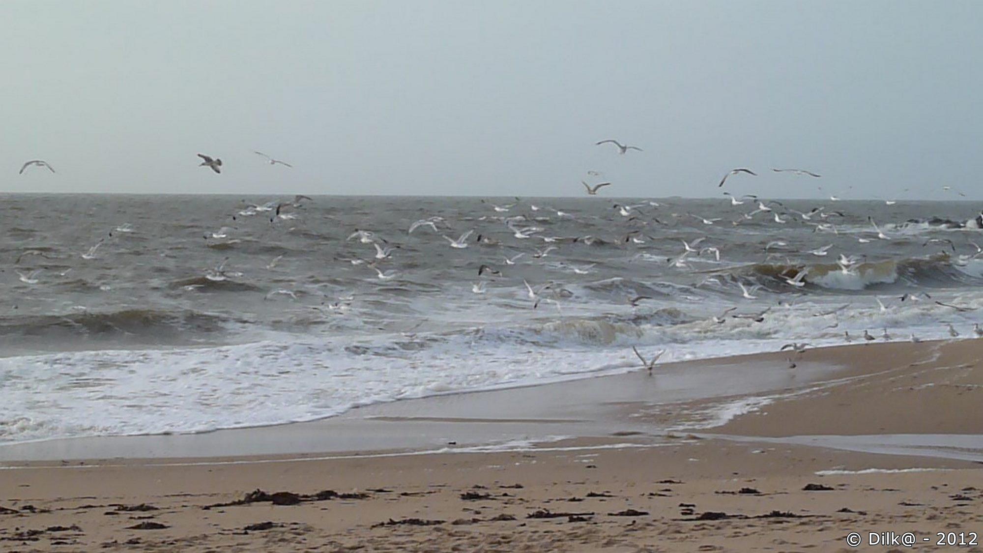 Des centaines de goélands envahissent la plage