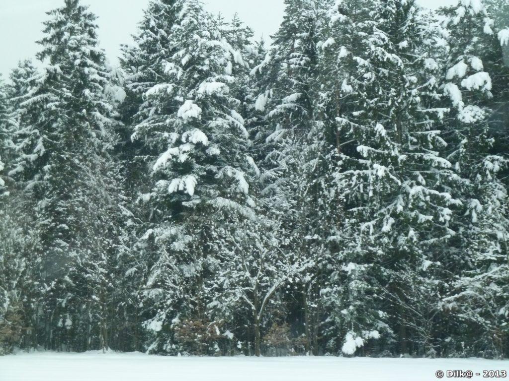 Forêt de résineux saupoudrés de neige