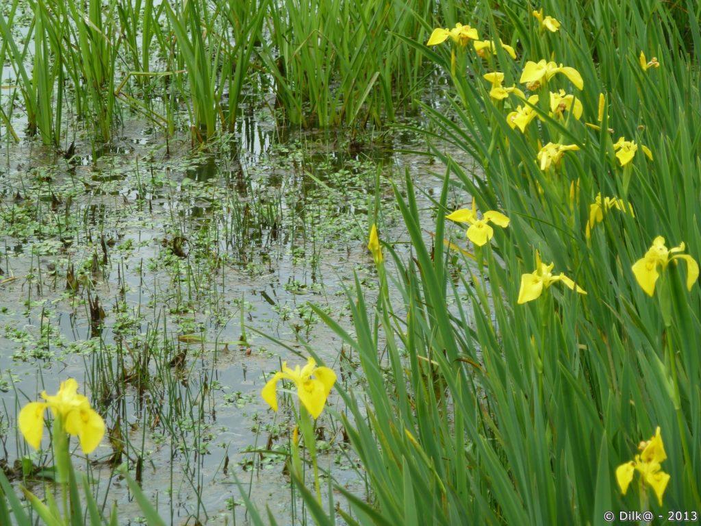 Les iris d'eau de couleur jaune