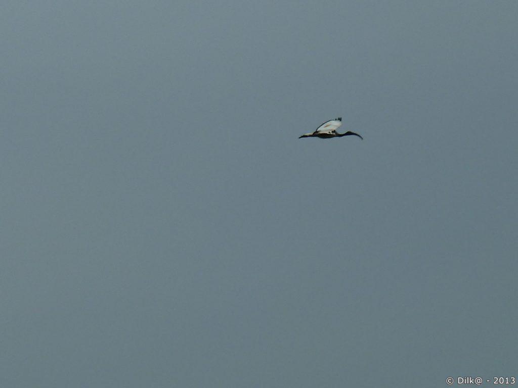 L'ibis en plein vol