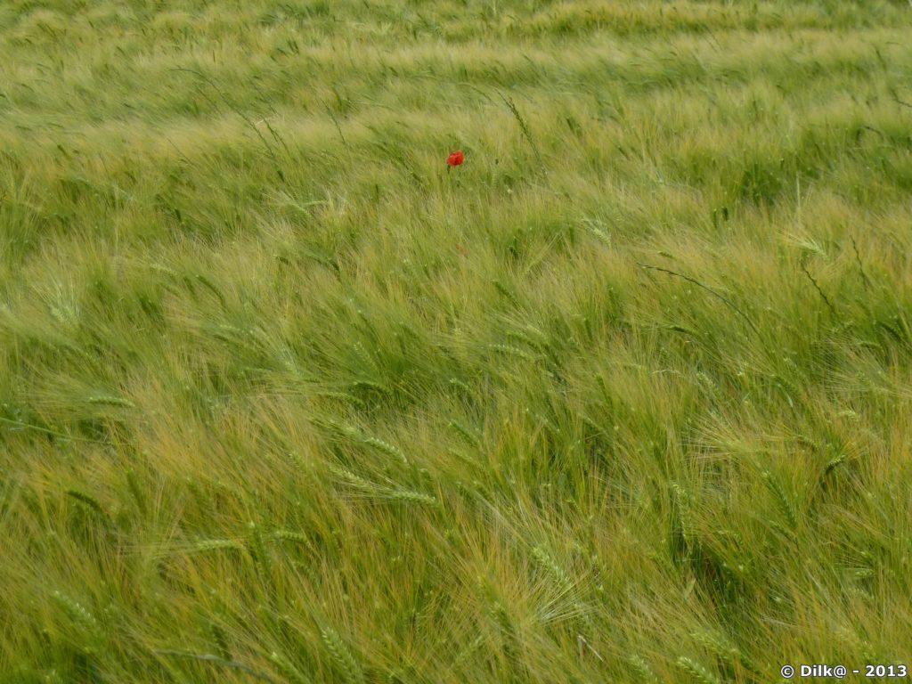 Coquelicots au milieu des champs de céréales