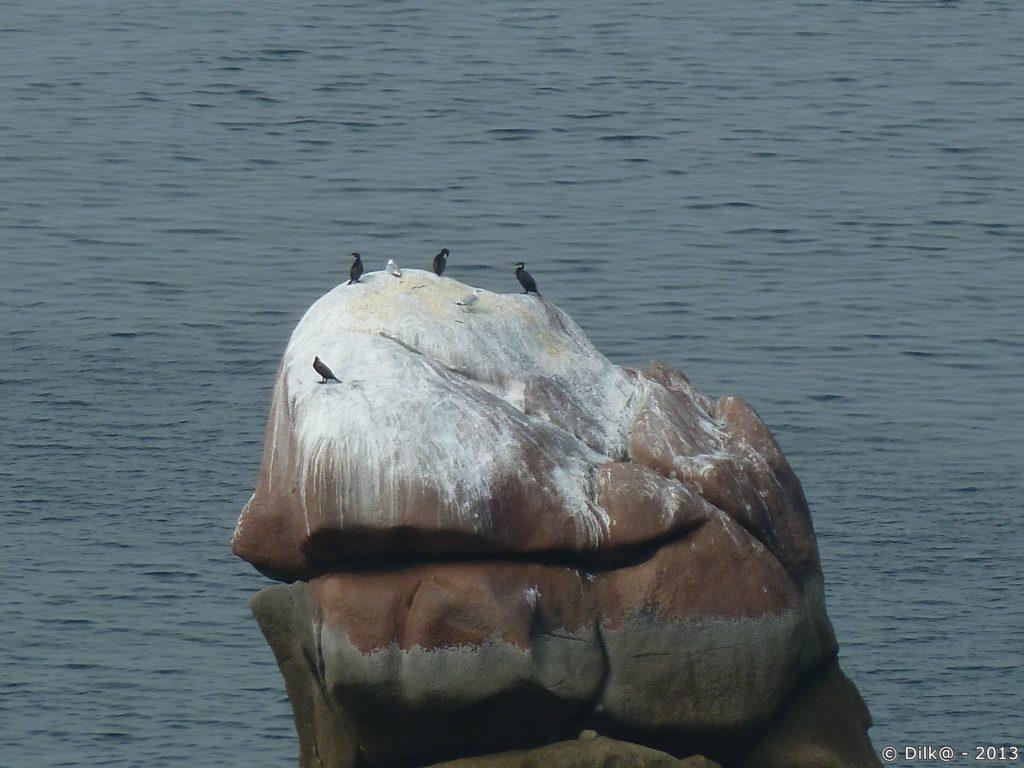 Quelques cormorans sur un rocher blanc de fiente