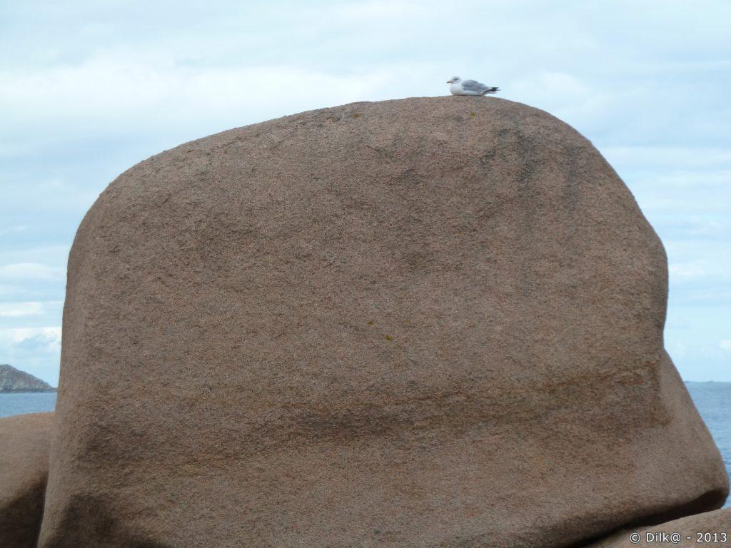 Goéland sur son rocher rose