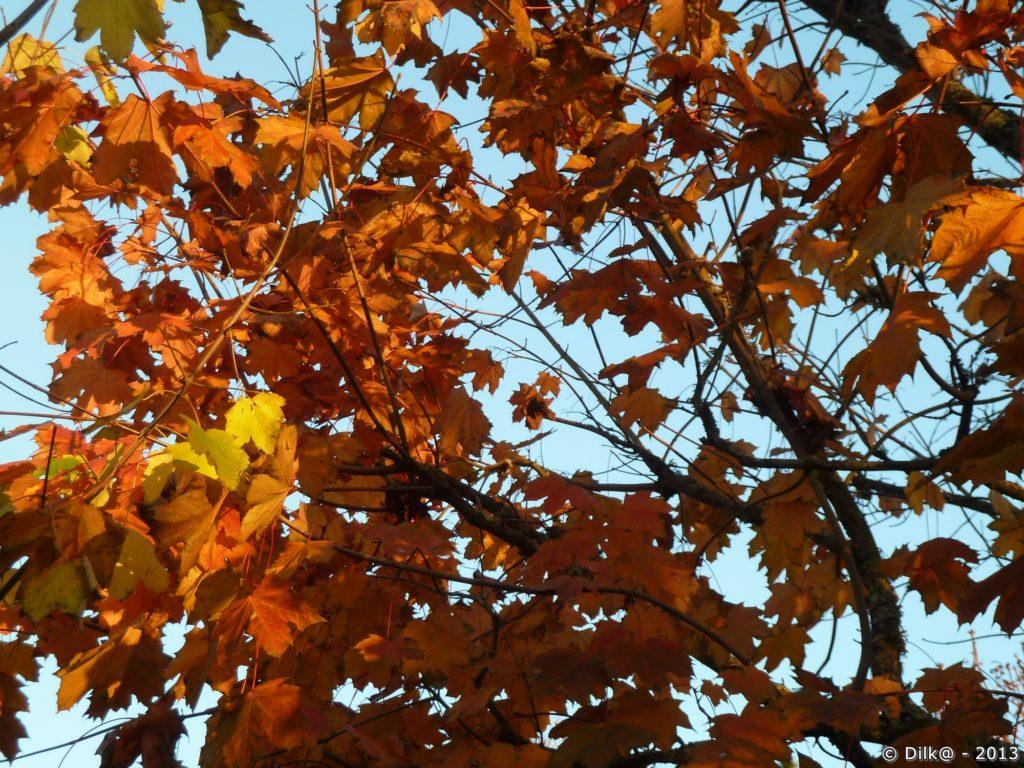 Les derniers feuilles d'érable brillent dans la lumière du soleil déclinant.