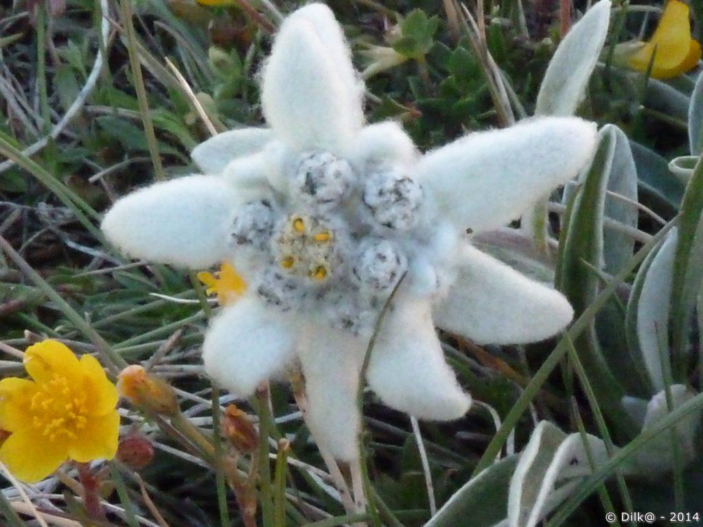 L'edelweiss est très rare