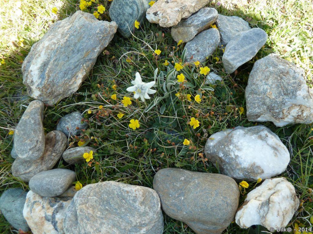 L'edelweiss est protégée