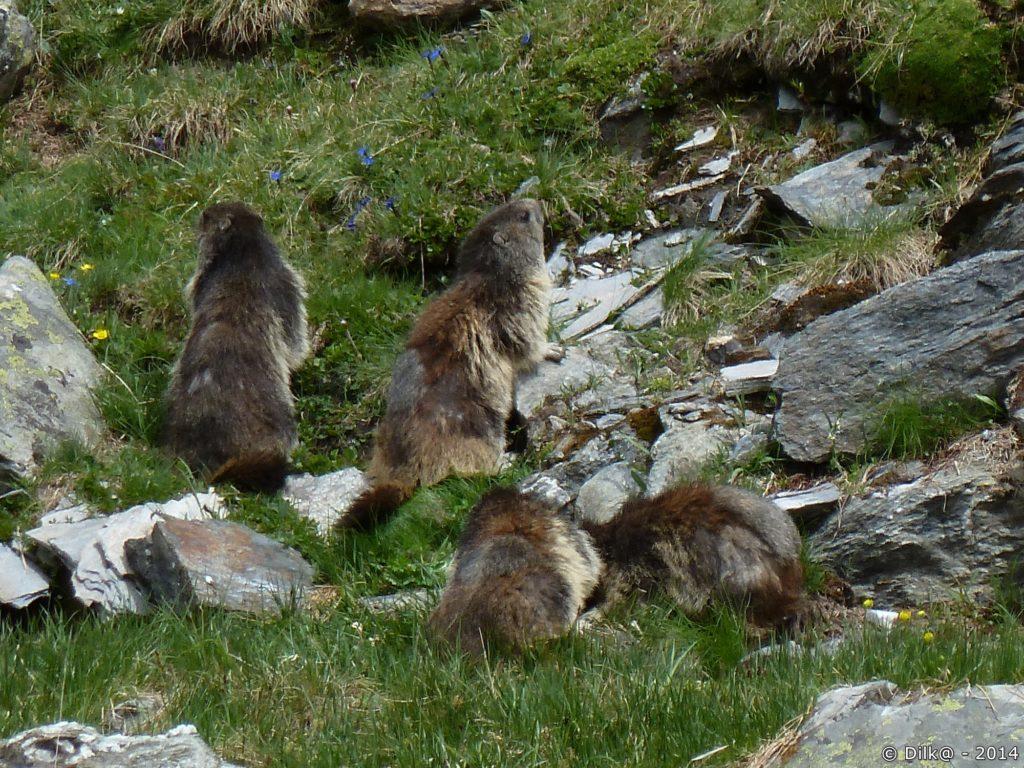 La famille de marmottes
