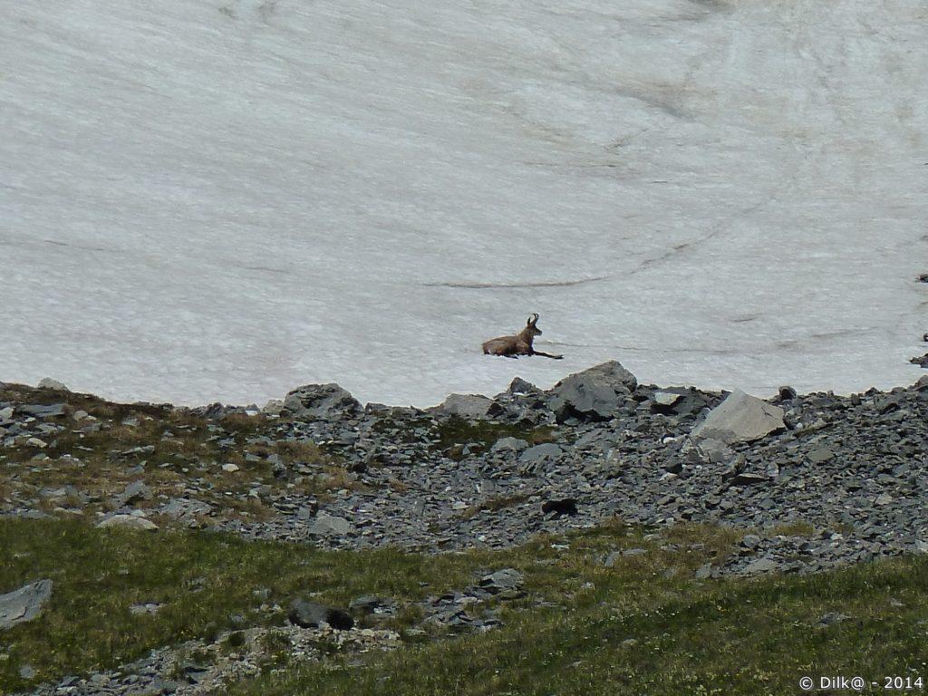 Dans la Vanoise, on peut surprendre un chamois...