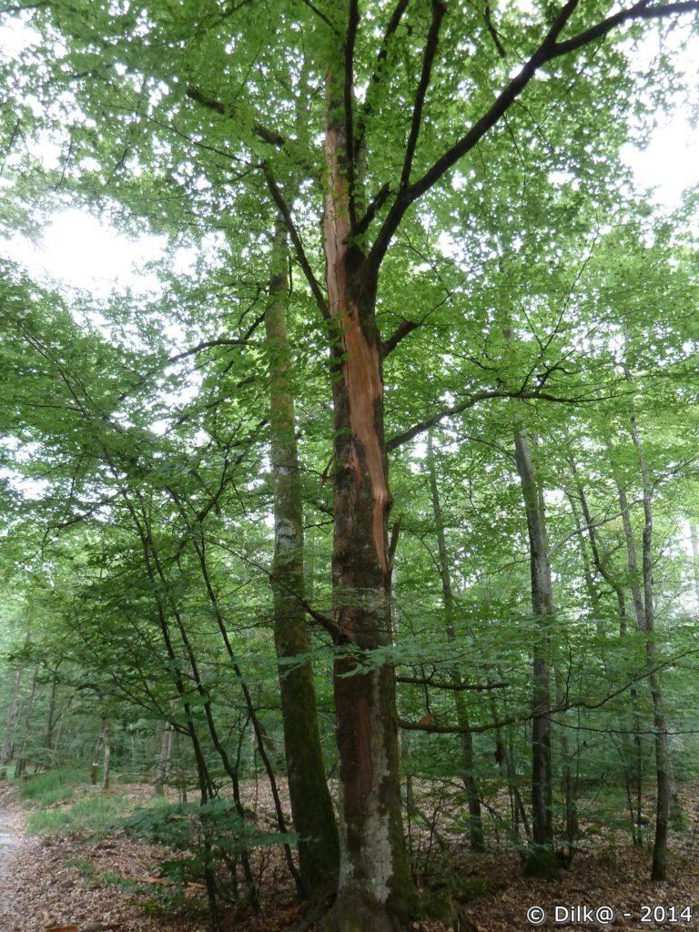 Cet arbre a été foudroyé et son tronc est fendu de haut en bas