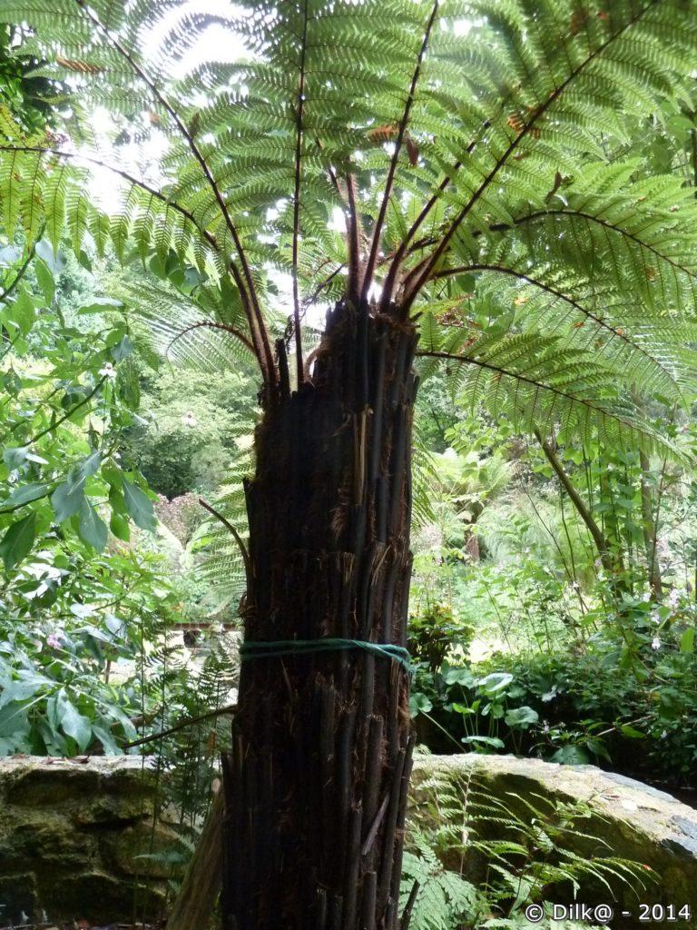 Les fougères arborescentes de Nouvelle Zélande (Dicksonia squarrosa)