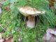 Cèpe en tenue de camouflage !