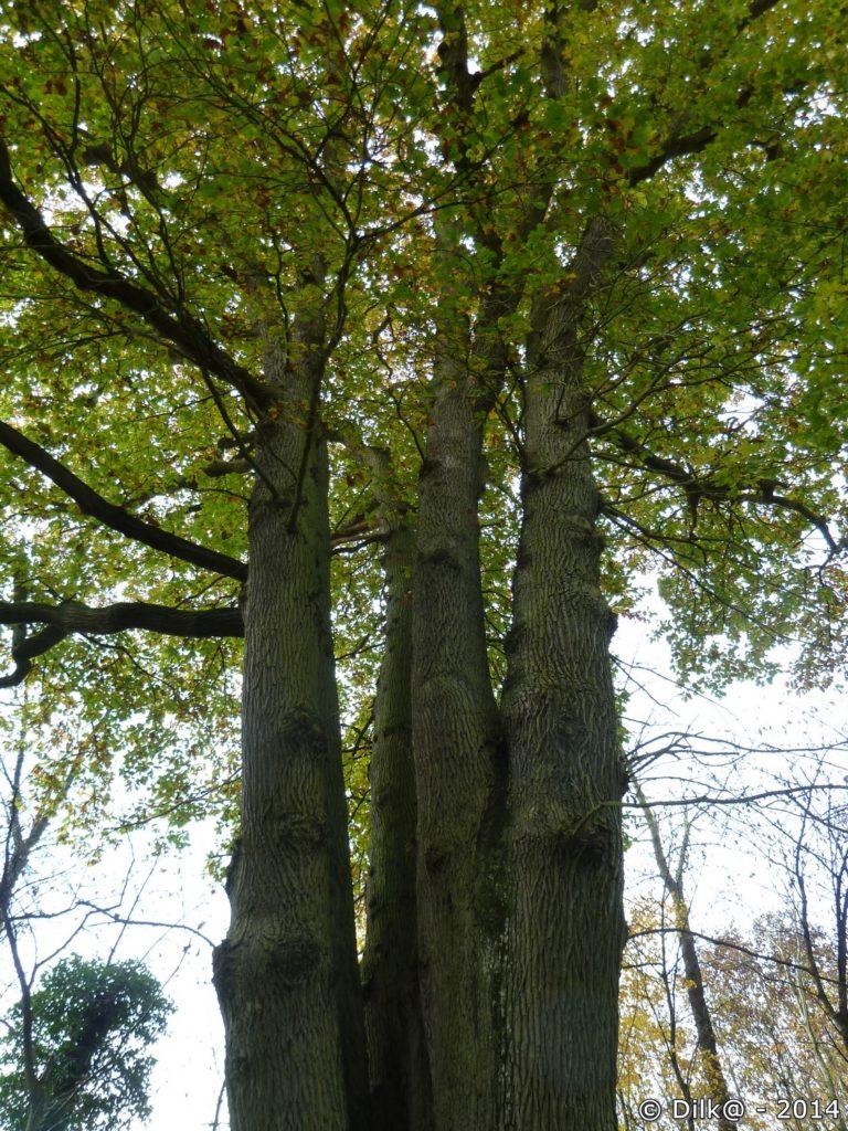 Le chêne des six frères