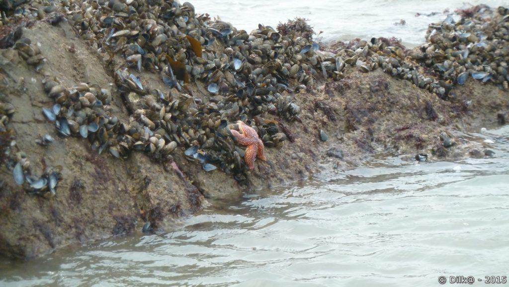 Etoiles de mer piégées par la marée
