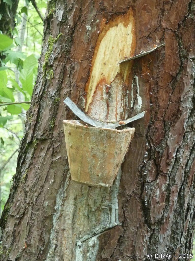 Récolte de sève de pin