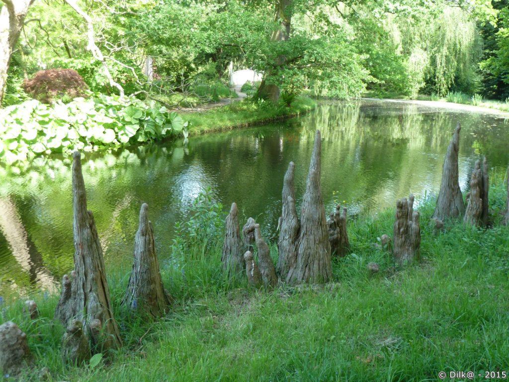Les racines des cyprès des étangs développent des excroissances aériennes : les pneumatophores