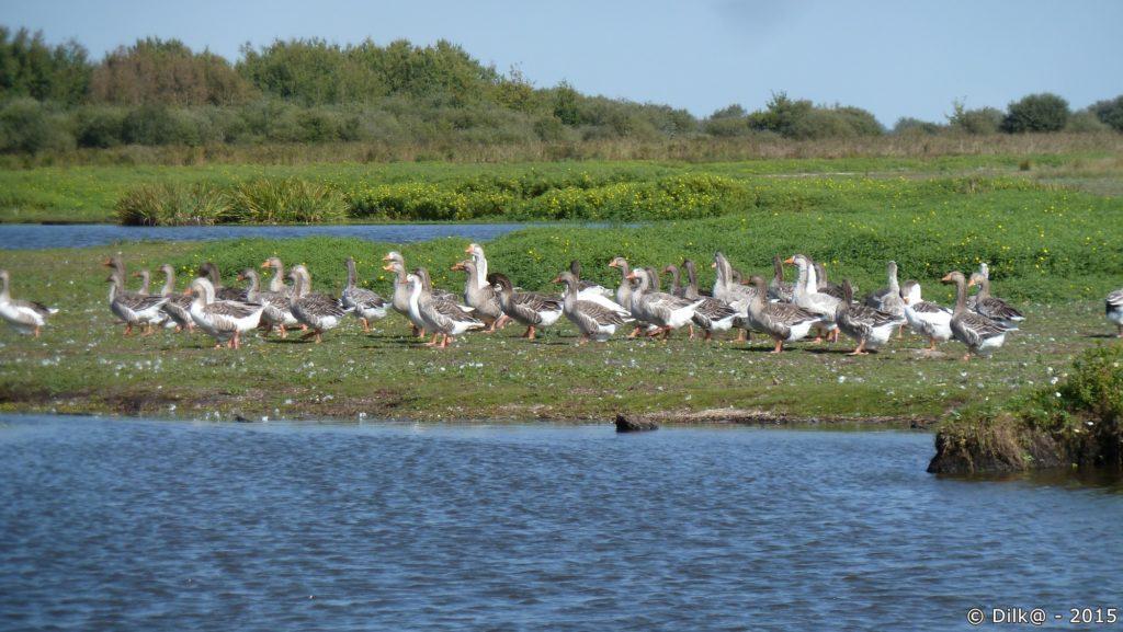 Comme un défilé du 14 juillet, les oies paradent au port de la Chaussée Neuve
