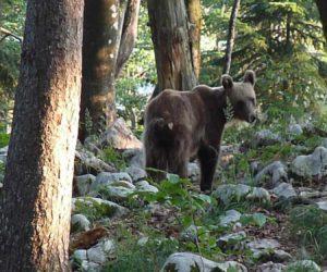 L'ours slovène