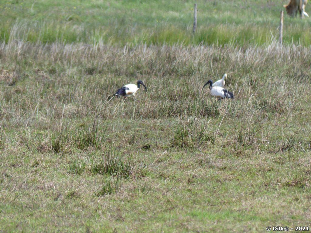 Ibis dans le marais de Brière