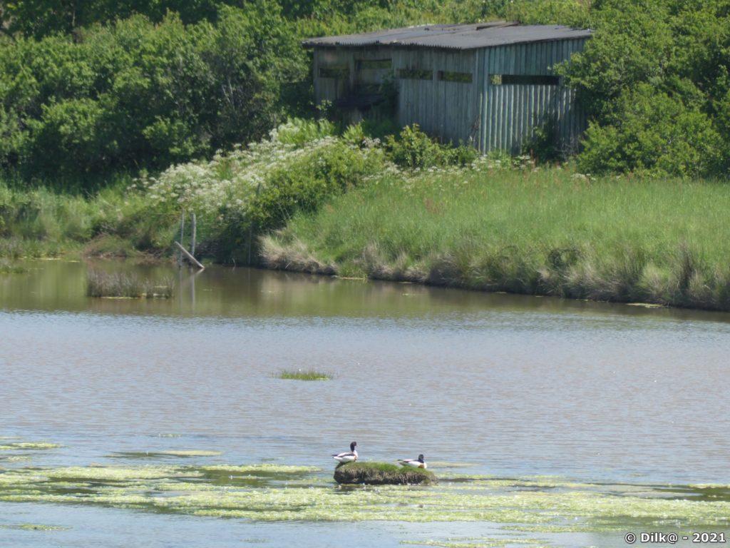 Deux tadornes sur leur îlot au pied d'un observatoire dans la Réserve naturelle nationale de Séné