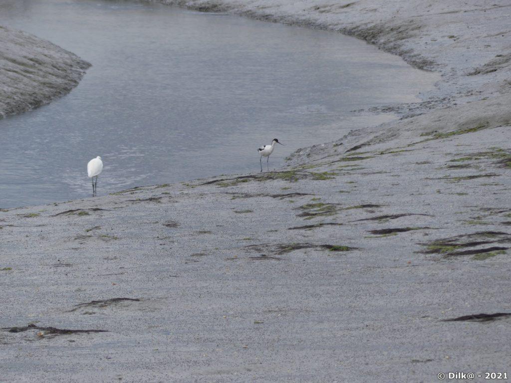 Grande aigrette et avocette dans le marais de la Villeneuve