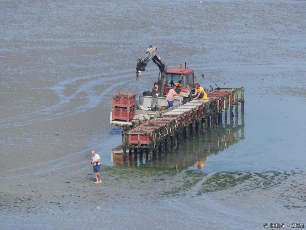 Travail sur les bouchots à marée basse
