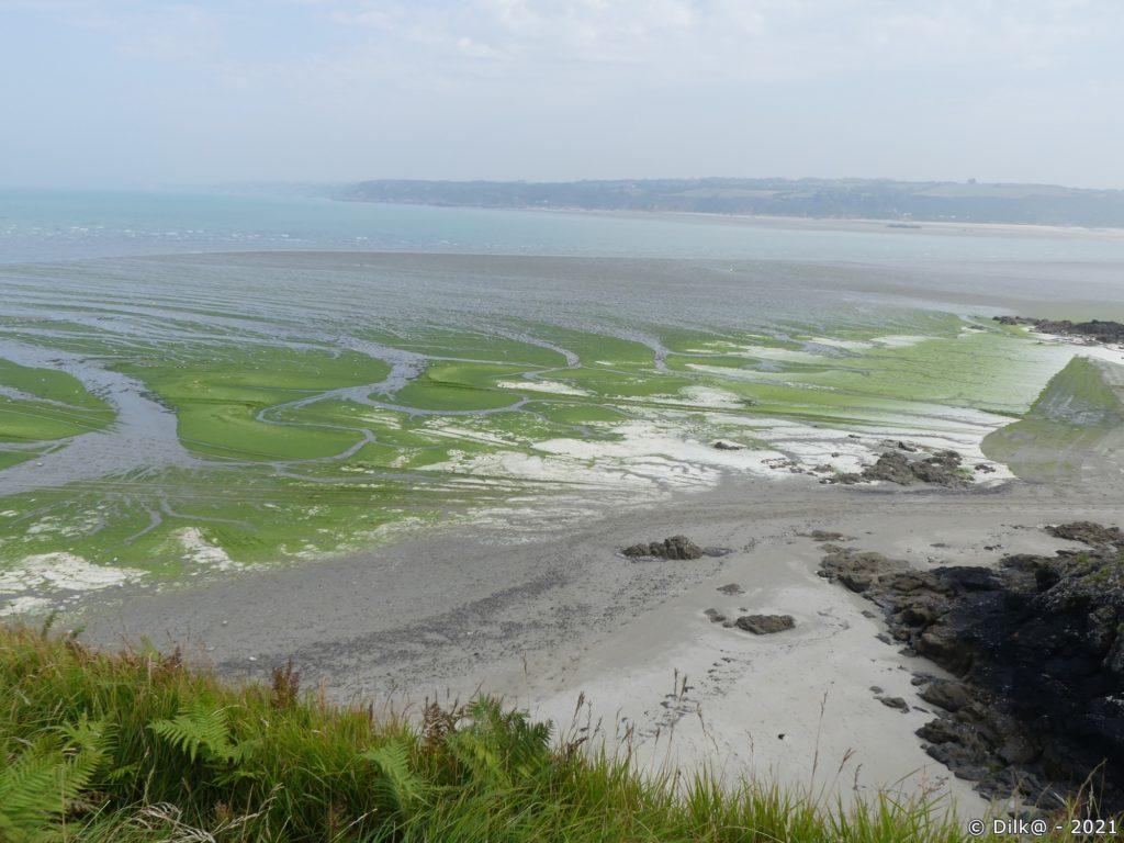Les algues vertes dans la baie de Morieux