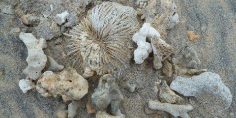 corail mort échoué sur la plage de la plage du Trou d'Eau
