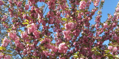 Arbre fleuri... signe du printemps