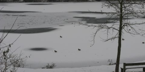 Danse de canards sur étang gelé