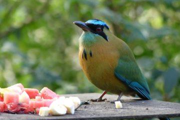 motmot à gorge bleue à Cala Lodge