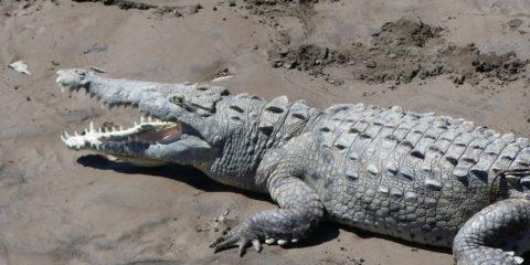 crocodile se prélassant au soleil sur un banc de sable