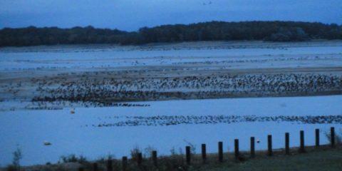 Cormorans sur le lac du Der