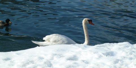 Le cygne du lac de Bled