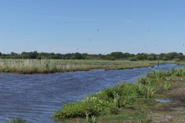 Les oiseaux viennent se nourrir dans le marais